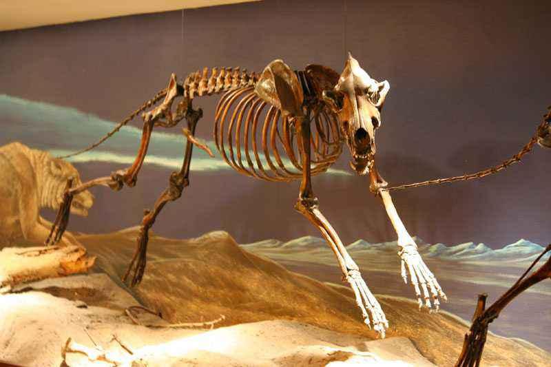 scheletro di metalupo