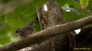 Indicatore golanera (Indicator Indicator), un uccello sfruttato da secoli per localizzare un alveare selvatico