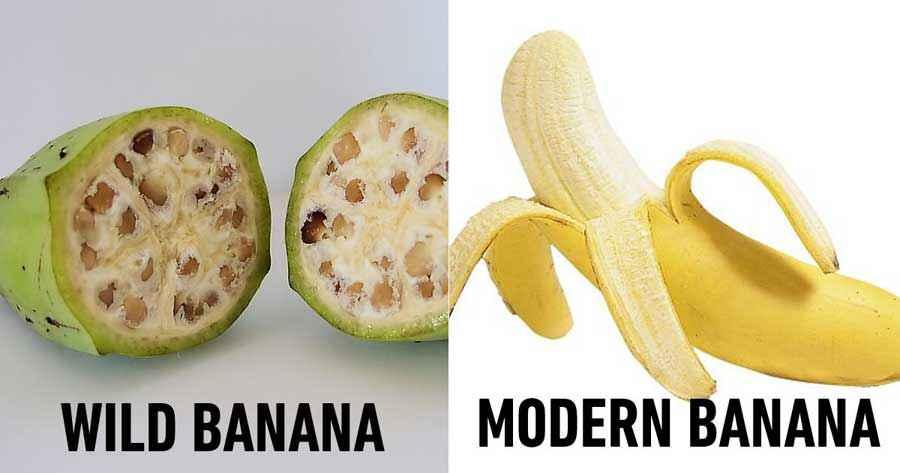 Banana prima della domesticazione