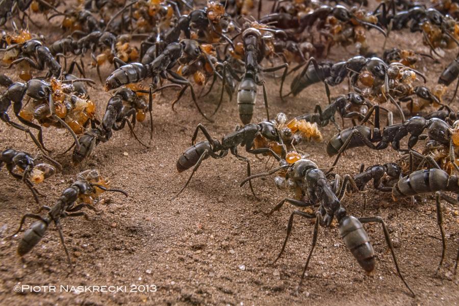 Colonia di formiche proiettile