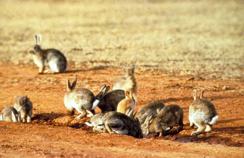 coniglio selvatico infestazione Australia