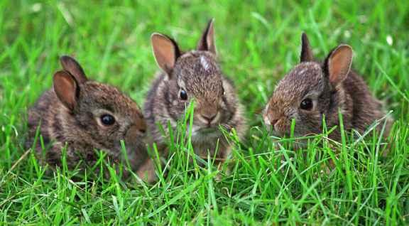 Coniglio selvatico cuccioli