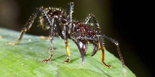 formica proiettile