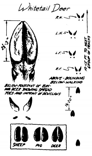 Orme animali: Zoccoli