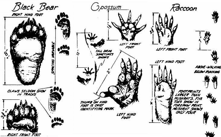 Impronte animali: Plantigradi