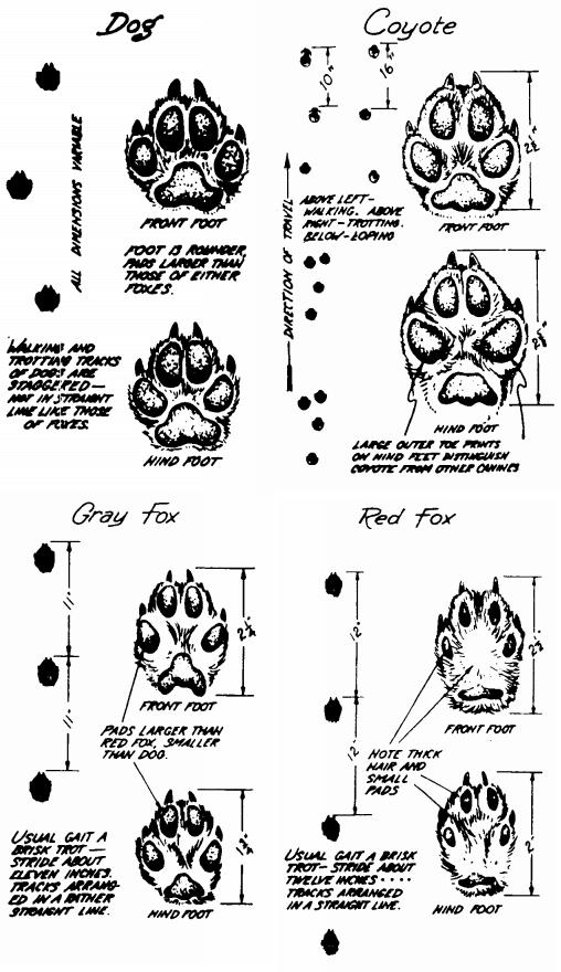 impronte canidi