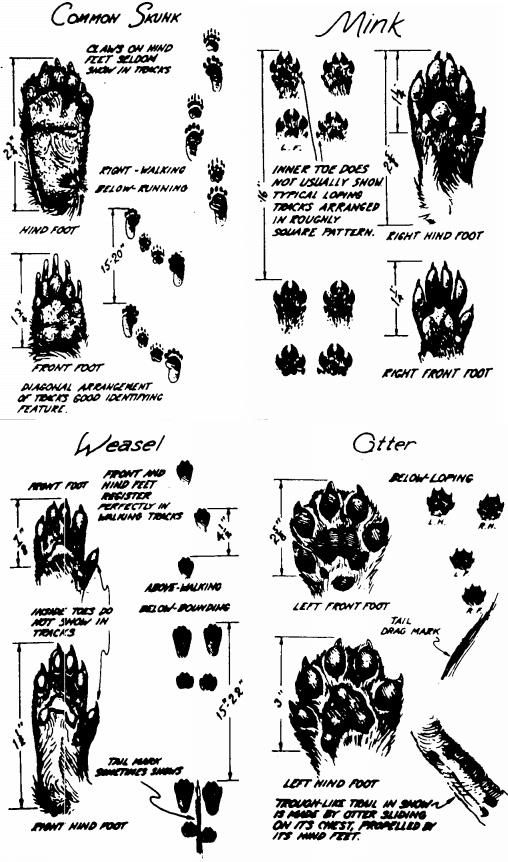 Impronte mustelidi