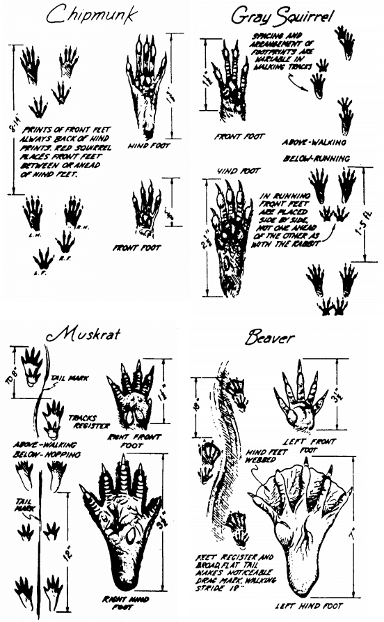 Impronte animali: Roditori