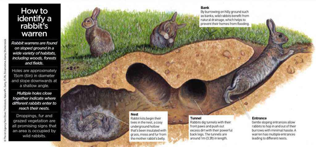 tana di coniglio