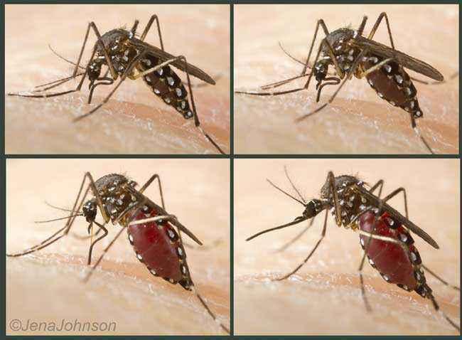 Zanzara che si nutre di sangue. Foto di Jena Johnson