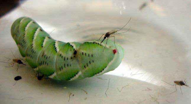 Zanzare si nutrono di un bruco: Penn State entomology