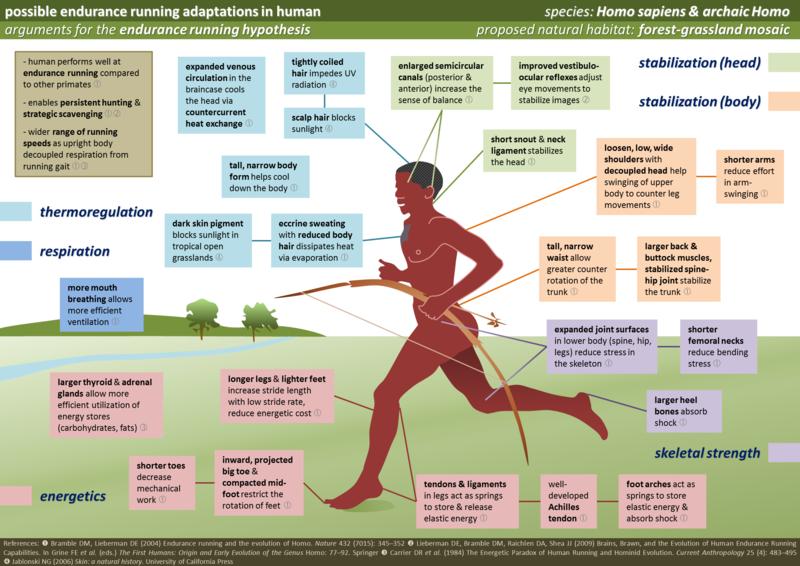 Adattamenti evolutivi per la corsa di resistenza