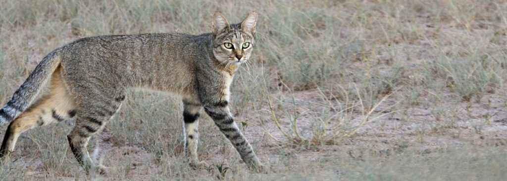 Gatto selvatico africano (Felis silvestris lybica)