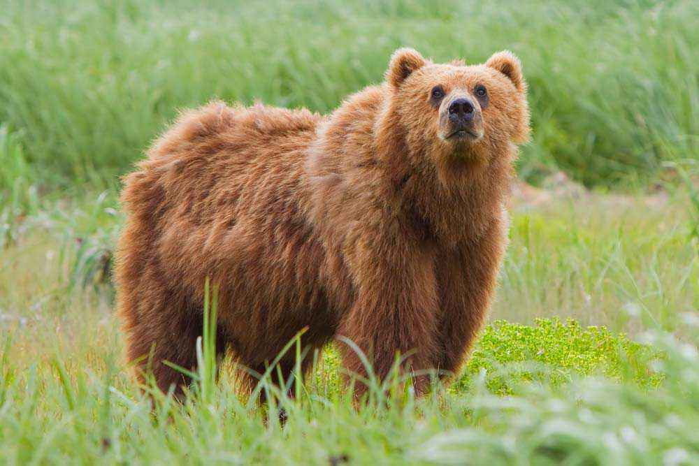 Orso Kodiak del Kodiak National Wildlife Refuge, Alaska