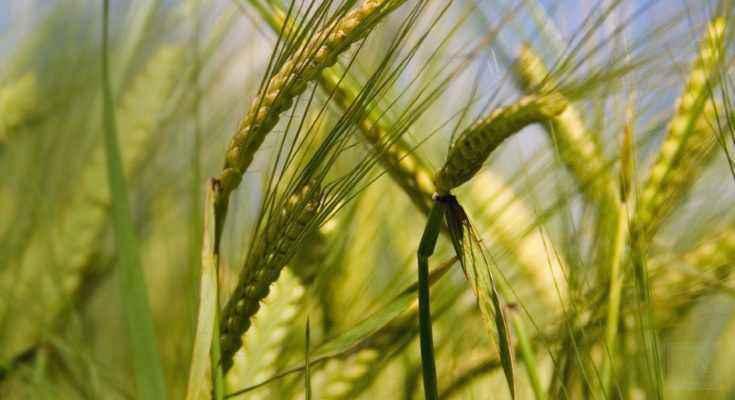 Domesticazione cereali