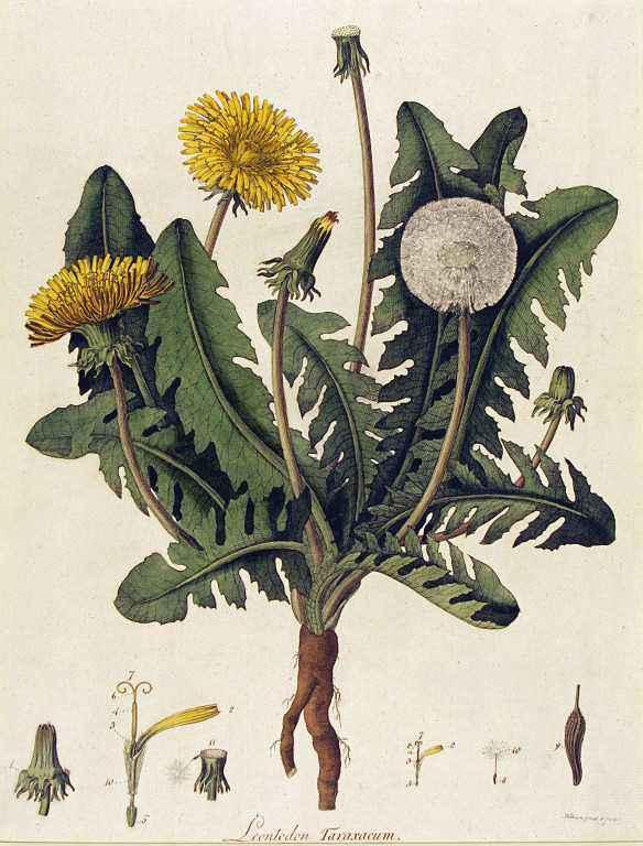 Fiori, infiorescenze, foglie e radici di tarassaco