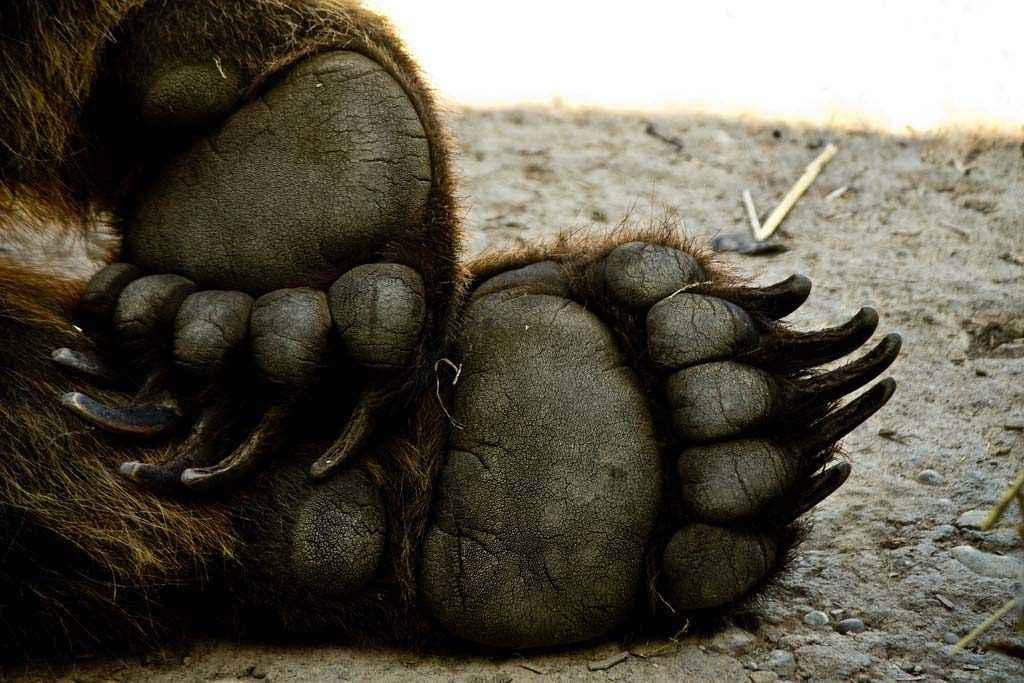 Zampa di grizzly del Columbus Zoo, Columbus, Ohio