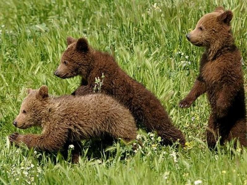 cuccioli orso bruno