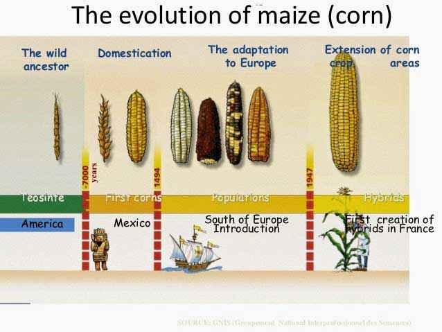 Evoluzione della domesticazione del mais