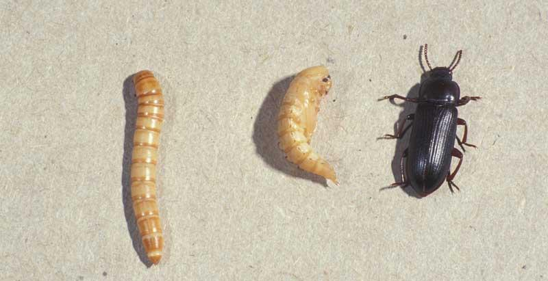 Larva, pupa e tenebrione adulto