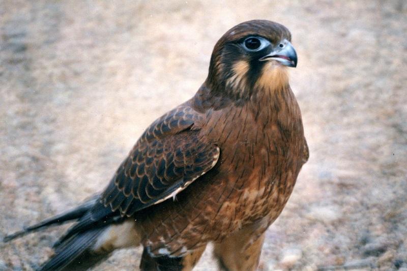 Falco bruno (Falco berigora)