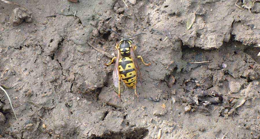 Pericolosità di api e vespe