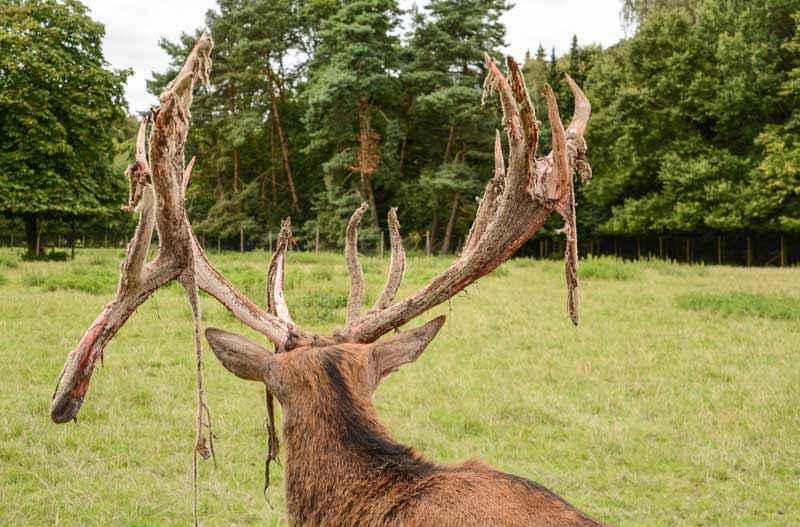 Palco di cervo e velluto in fase di distaccamento