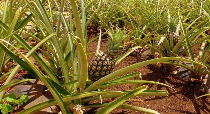storia dell' ananas