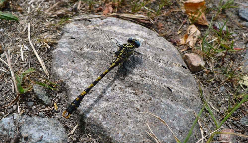 Il gonfo forcipato (Onychogomphus forcipatus) è una libellula gialla e nera lunga circa 5 centimetri e con cerci a tenaglia.