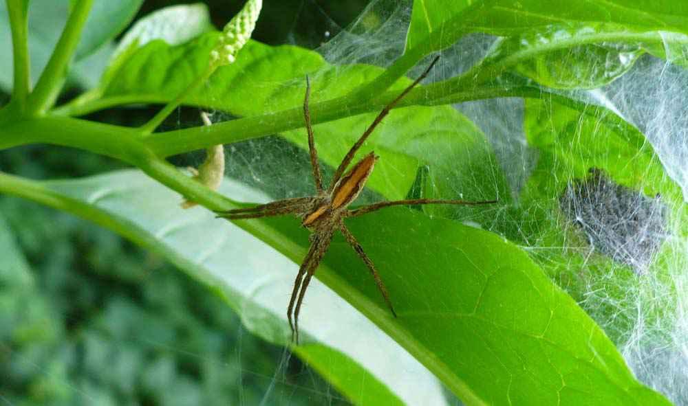 Chi mi aiuta ad identificare questo ragno?
