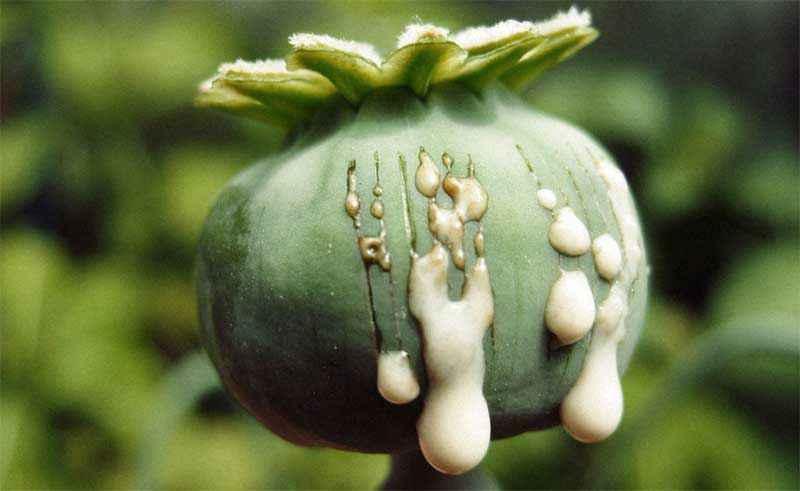 Lattice del papavero da oppio