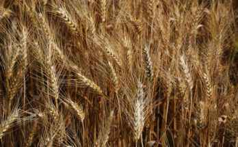coltivazione e raccolta del frumento