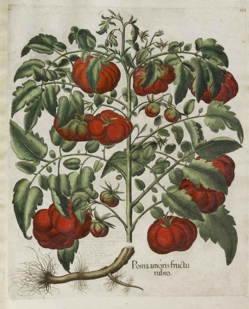 """Raffigurazione del pomodoro (""""Poma amoris fructu rubro"""") del 1620"""