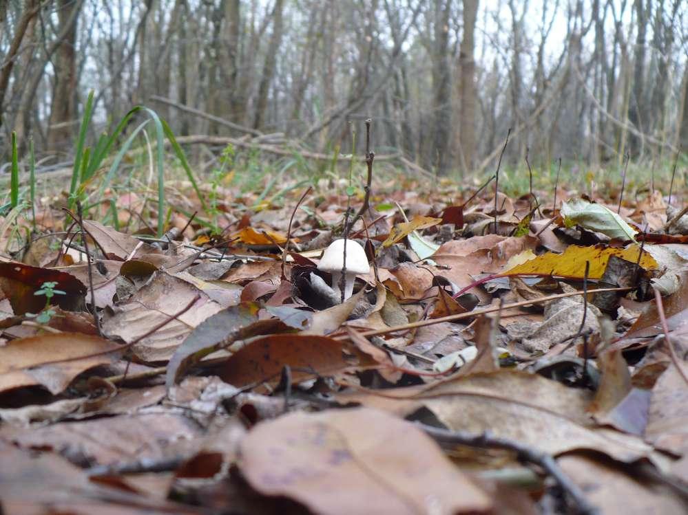 Tignosa di primavera (Amanita verna), fungo mortale primaverile che viene spesso confuso con il prataiolo