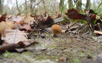 Piccolo millepiedi striato (Ommatoiulus sabulosus) avvolto su se stesso. Sapreste indicarmi a quale specie appartiene il fungo di fianco a lui?