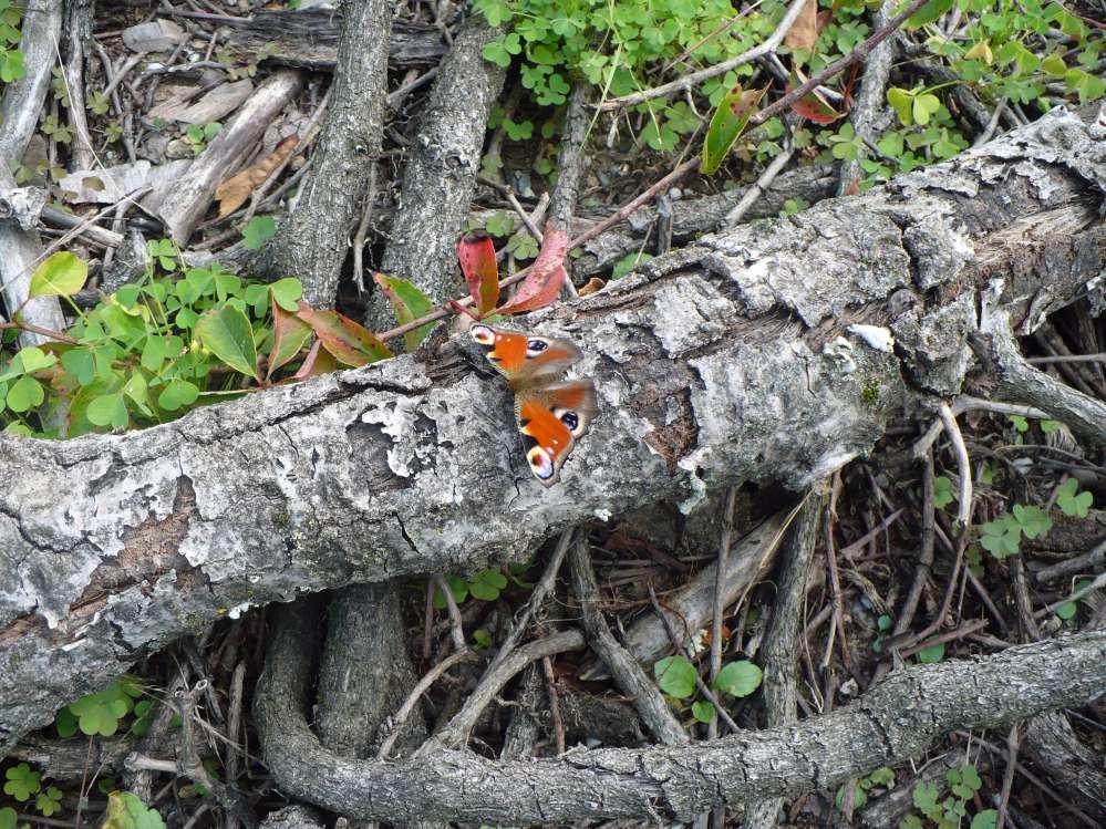La vanessa io o occhio di pavone (Aglais io) è una ben nota e colorata farfalla della famiglia Nymphalidae. Il suo epiteto specifico fa riferimento a Io, sacerdotessa di Giunone dalla leggendaria bellezza.