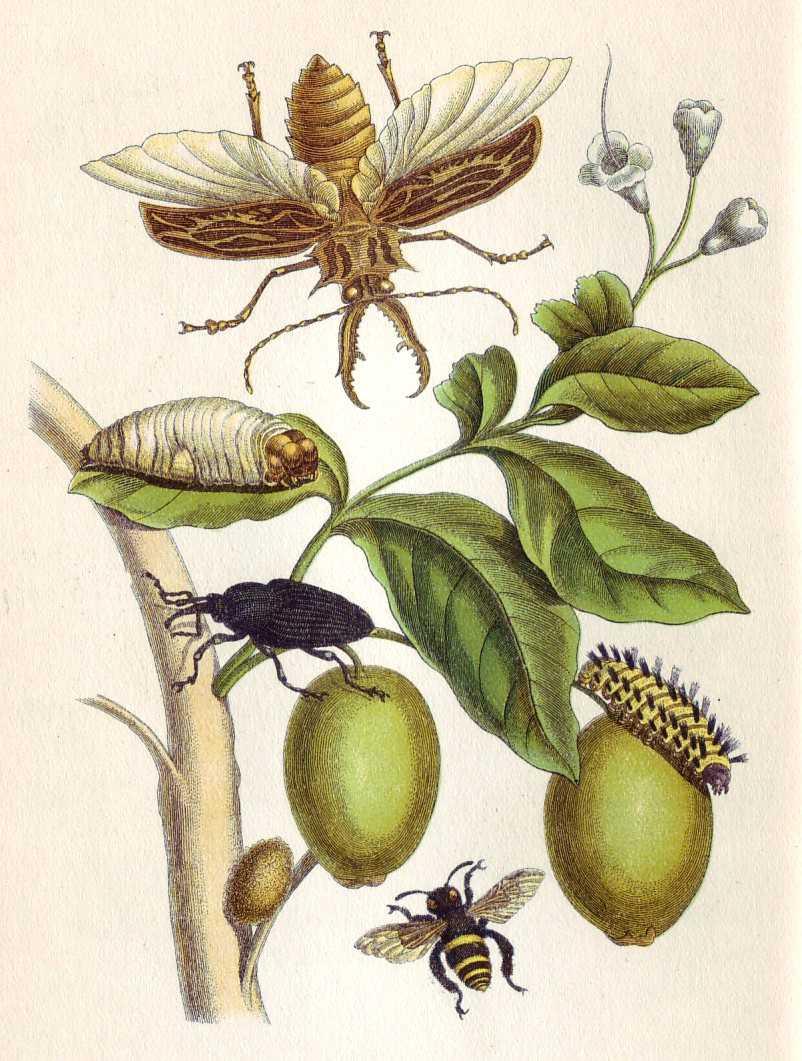 Illustrazione dal Metamorphosis insectorum Surinamensium