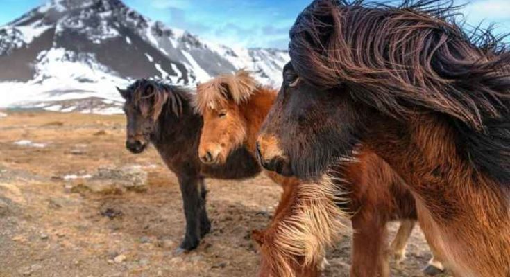 I Vichinghi islandesi di alto rango sepolti in compagnia di stalloni