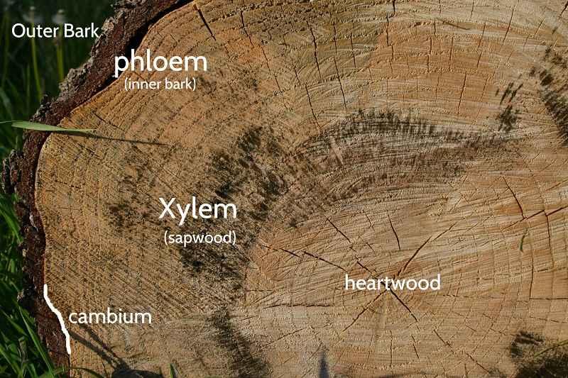 Sezione di tronco d'albero che mostra il floema (phloem)