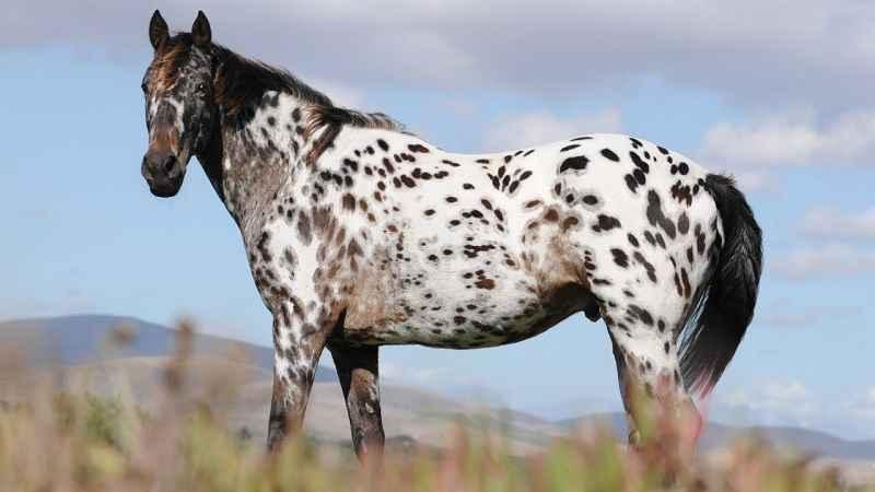Il cavallo: storia, evoluzione e selezione. Appaloosa
