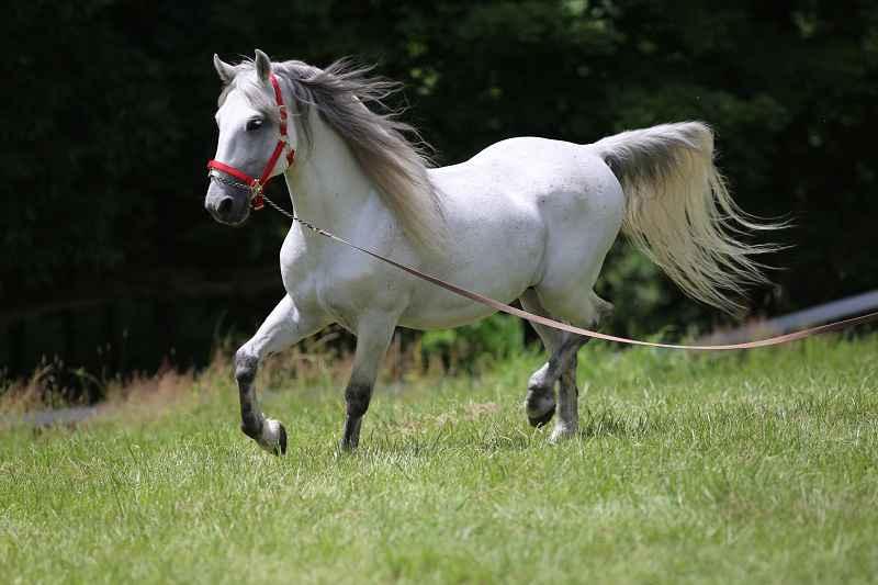 Il cavallo: storia, evoluzione e selezione. Lipizzano