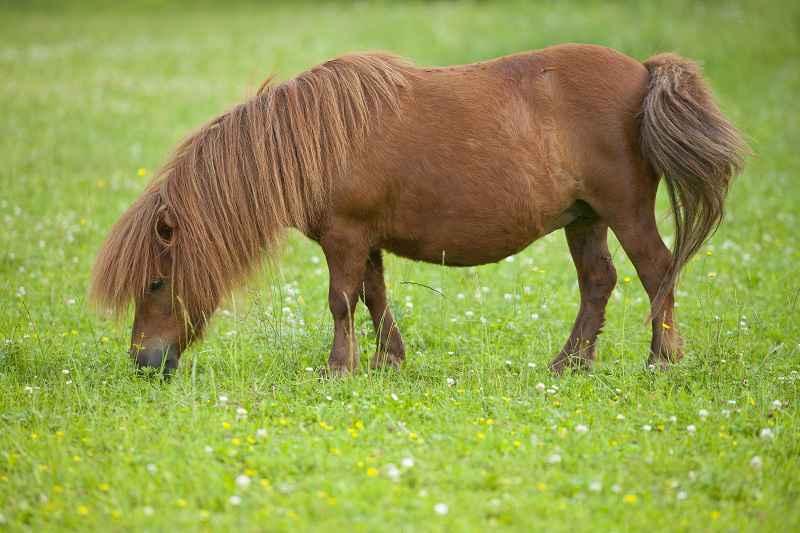 Il cavallo: storia, evoluzione e selezione. Pony Shetland