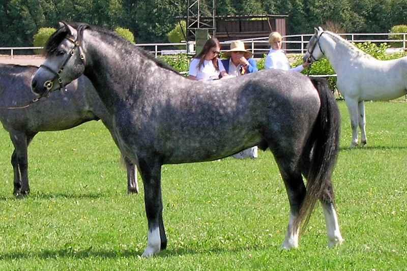 Il cavallo: storia, evoluzione e selezione. Pony Welsh