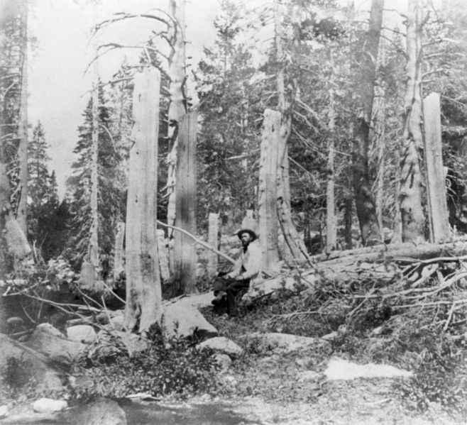 Questi tronchi furono tagliati dal Donner Party per costruire le baracche e per riscaldarsi. L'altezza del taglio indica il livello della neve al tempo del taglio