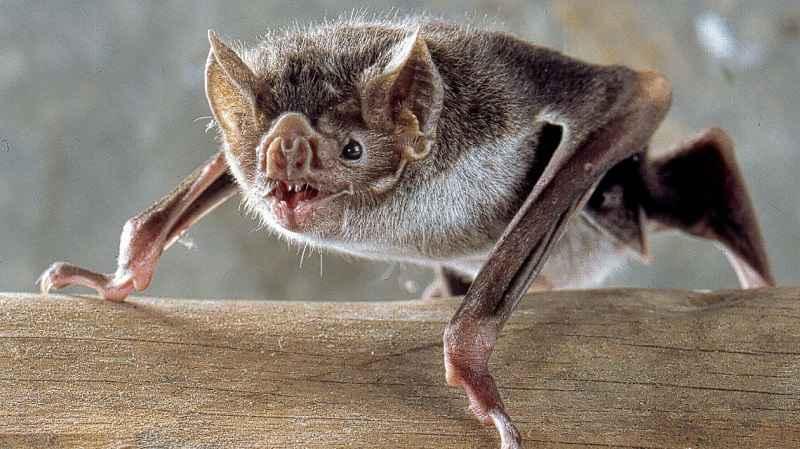 Pipistrello Desmodus rotundus