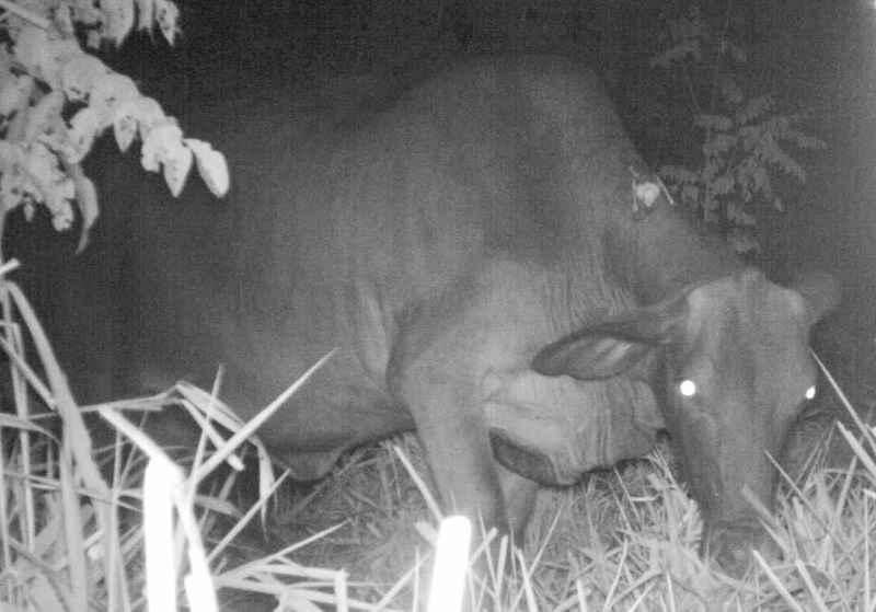 Pipistrello vampiro mentre si alimenta sul dorso di un bovino selvatico