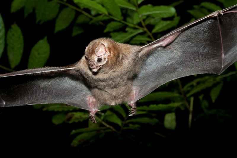 Pipistrello vampiro in volo. Jacinto Yoder, Shutterstock