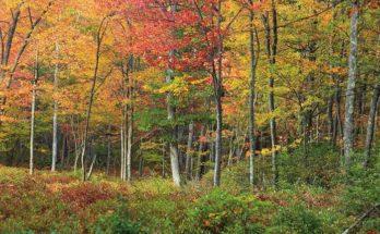 Foreste nordamericane alterate dal fuoco dei nativi. Credit: Nicholas A. Tonelli.