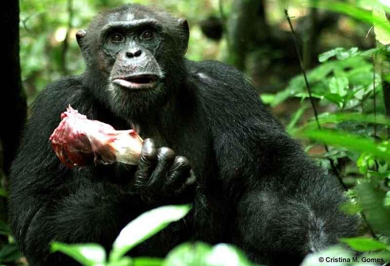 Scimpanzé che consuma un colobo dopo una caccia di successo
