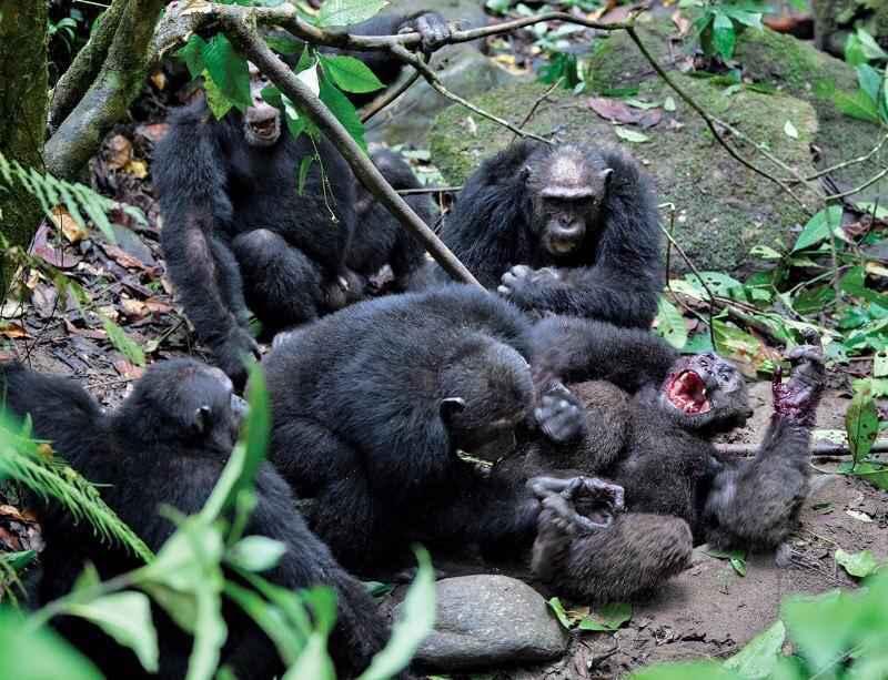 Guerra degli scimpanzé di Gombe